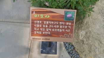 미모사(Mimosa...